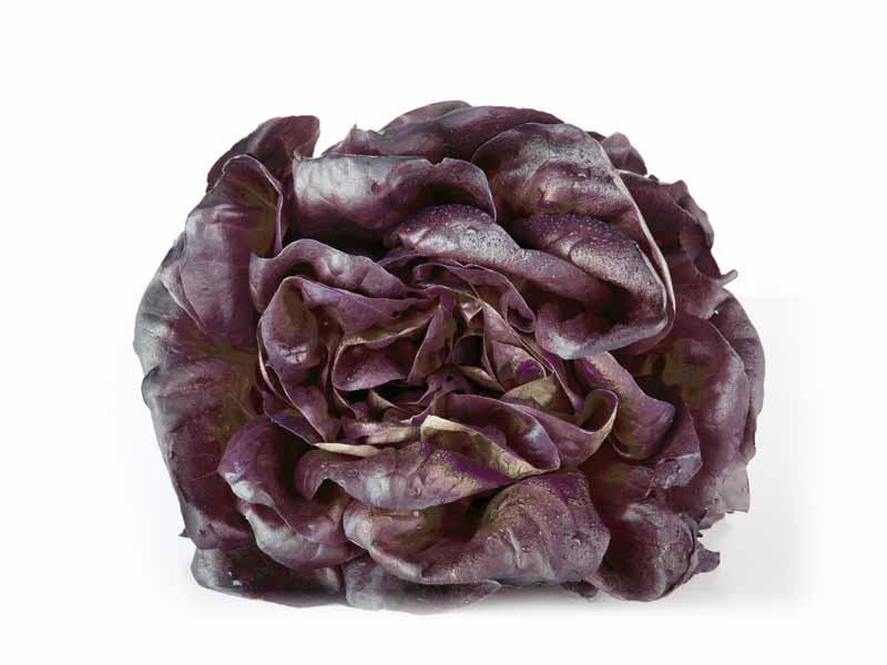 Salade Nova Rouge Alsace propre récolte - pieces
