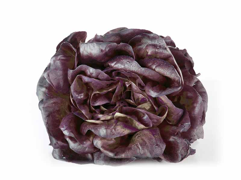 Salade Nova Frisée Rouge Alsace propre récolte