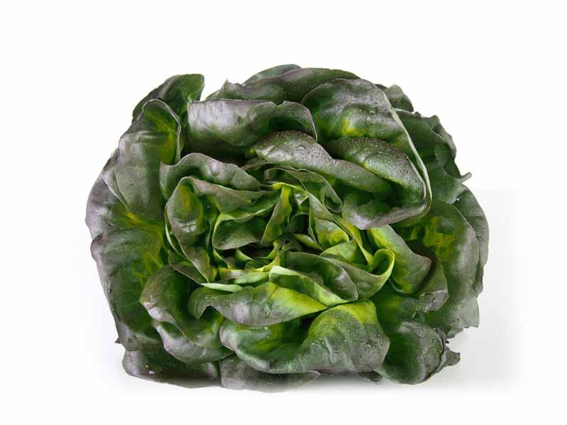 Salade Nova Frisée Verte Alsace propre récolte